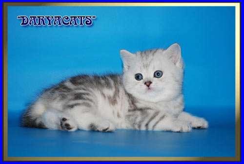 Шотландские и британские котята мрамор и вискас в Москве Фото 3