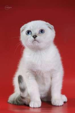 Котенок колорная шиншилла il gattino chinchilla