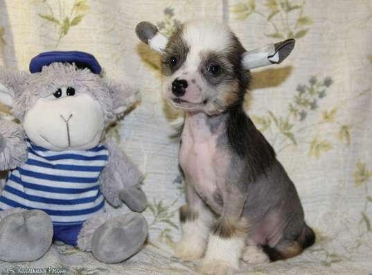 Китайской хохлатой собачки щенки, для выставок и для души