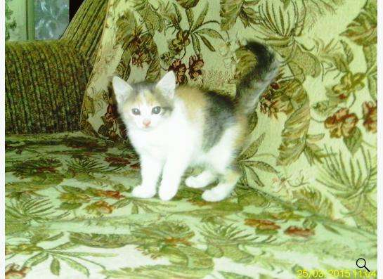 Котенок трехцветный в Ростове-на-Дону Фото 2