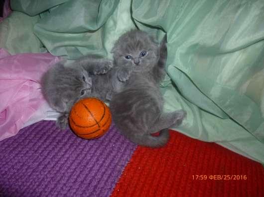 Котята плюшевые скоттиш фолд