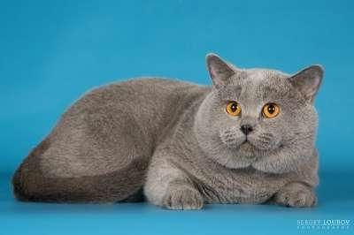Британские чистопородные котята