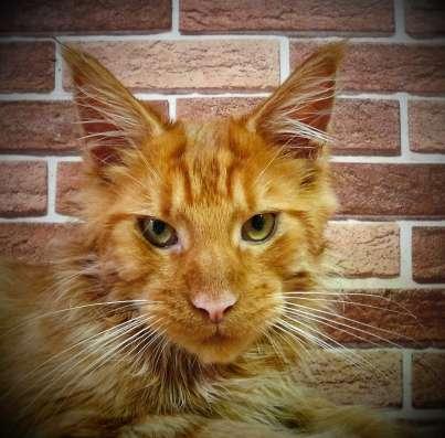 Продаются котята мейн кун в Екатеринбурге Фото 2