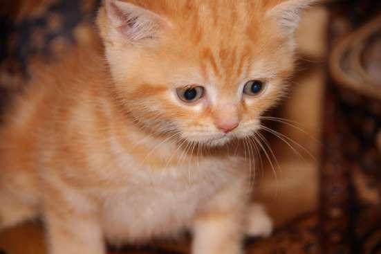 Чистокровные котята в Нижнем Новгороде Фото 4