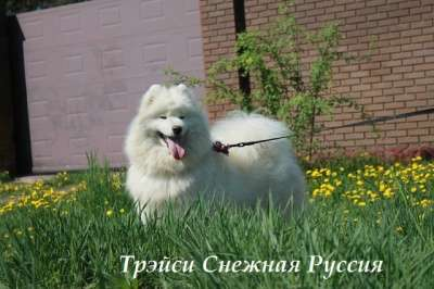 Самоед щенки в г. Новый Уренгой Фото 4