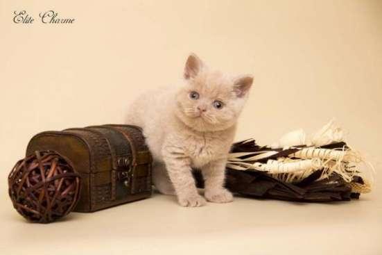 "Британские котята из питомника ""Elite Charme"" в Екатеринбурге Фото 3"