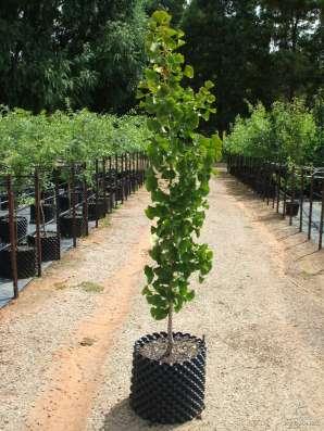 Саженцы декоративного дерева ''Ginkgo biloba''Гинкго билоба