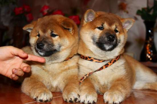 Щенки Сиба (Шиба-ину) мальчики и девочки ярко рыжего окраса