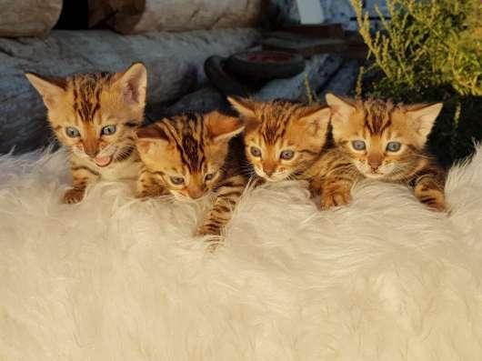 Бенгальские кошечки