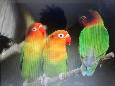 попугаи в Обнинске Фото 2
