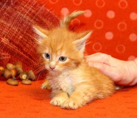 Котята, дети любви Бенгала и Мейнкуна. 1,5 месяца