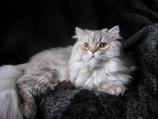 Британский длинношерстный кот хайленд в г. Кобрин Фото 1
