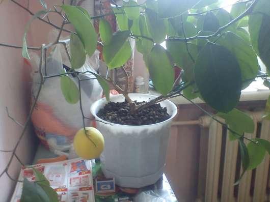 Лимон плодоносящий в Екатеринбурге Фото 1