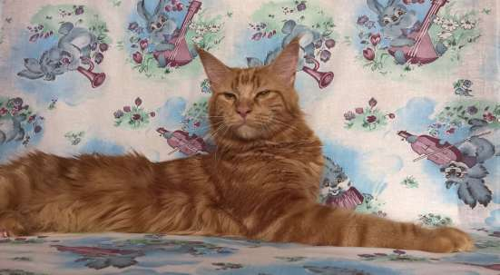 Кошка Мейн Кун даром