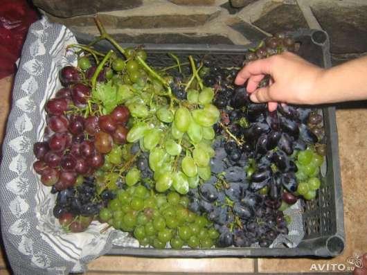Продаются саженцы винограда в Омске Фото 3