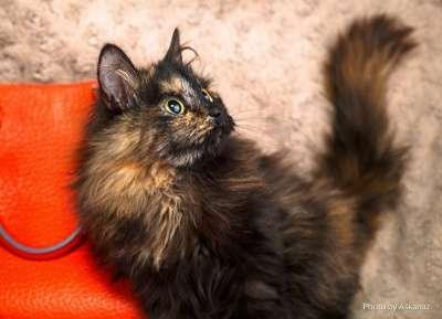 Отдам даром Живописная ясноглазая кошка Джейн в дар