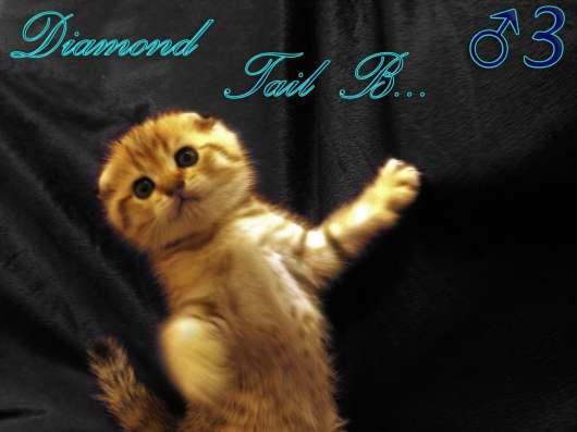 Шотландские вислоухие котята золотого окраса в г. Севастополь Фото 1