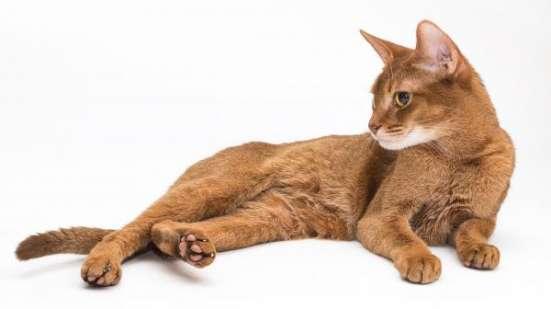 Абиссинская кошка 5 лет в Москве Фото 1