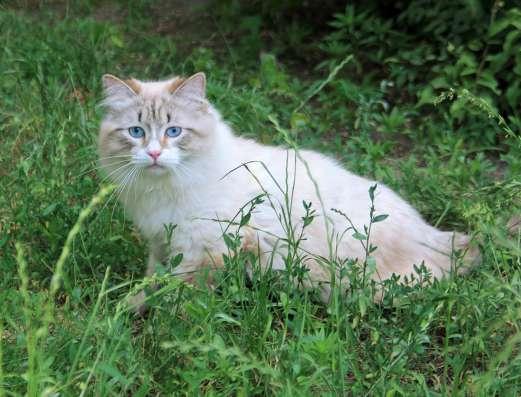 Продаются котята породы невские маскарадные в г. Киев Фото 2