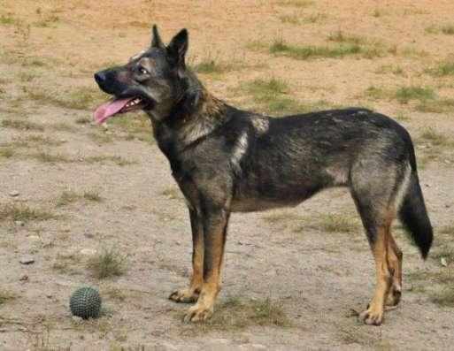Деликатная, с открытой душой собачка Лола ищет дом. в Москве Фото 4