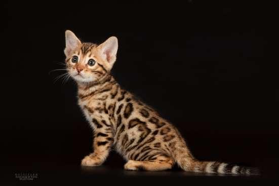 Питомник бенгальских котят в Челябинске Фото 5