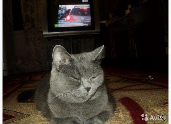 Шотландские котята скоттиш страйт