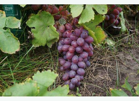 Саженцы элитных сортов неукрывного винограда