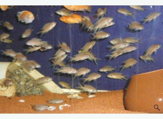 аквариумные рыбки оз. Танганьика, Малави